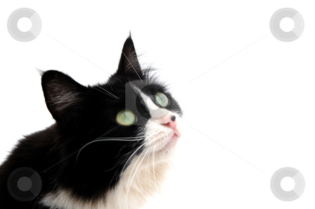 Looking Up stock photo, Closeup of a black and white cat on a light colored background looking up out of the frame by Lynn Bendickson