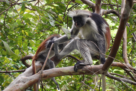 Endangerd Zanzibar red colobus monkey stock photo, 2 Zanzibar red colobus monkey in a tree in Jozani Forest, Zanzibar. by Peter Van veldhoven