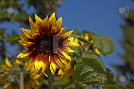 Bright Sunflower Against Blue Sky stock photo, This brightly colored sunflower has rust colored center petals and is shown against a cobalt blue sky. by Valerie Garner