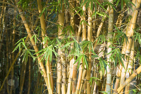 Bamboo cane stock photo, Tall and straight bamboo cane growing in the wild by Stephen Gibson