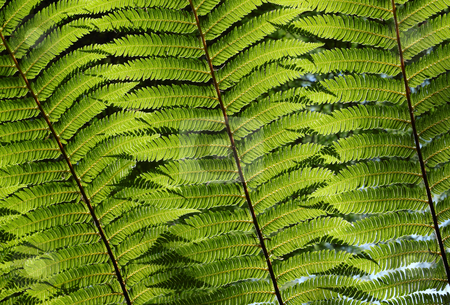 Close up of sunshine through green fern tree leaves in a forest. stock photo, Close up of sunshine through green fern tree leaves in a forest. by Stephen Rees