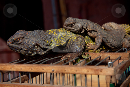 Two lizards on their cage stock photo, Two lizards enjoying the sun on top of their cage in Marrakesh, Morocco by Wouter Roesems