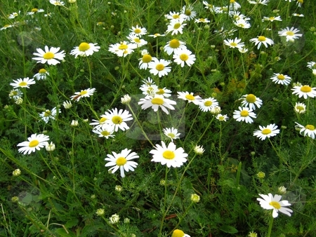 Diasies stock photo, Field of daisies by Cheryl Bowman