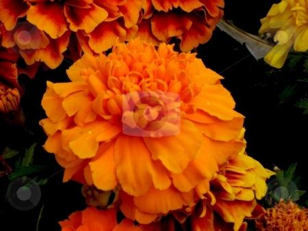 Orange marigold stock photo, Close up of an orange marigold by Cheryl Bowman