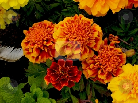 Marigold cluster stock photo, A cluster of marigolds by Cheryl Bowman