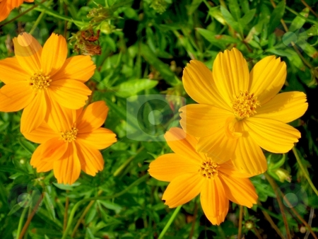 Orange flowers stock photo,  by Cheryl Bowman