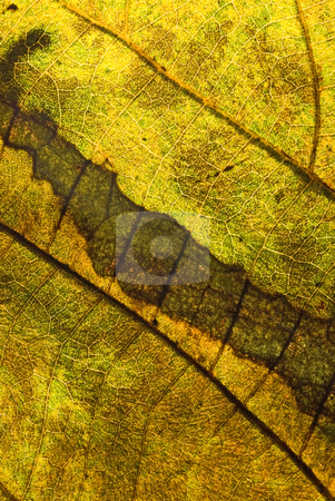 Golden color in the leaf, detailed vein stock photo, Autumn color in the leaf, detailed vein by Lawren