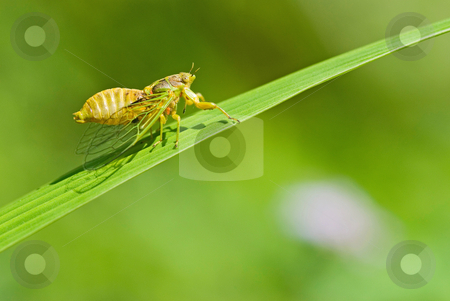 Cicadas courtship stock photo, Cicadas courtship (Mogannia hebes), Taiwan, East Asia by Lawren