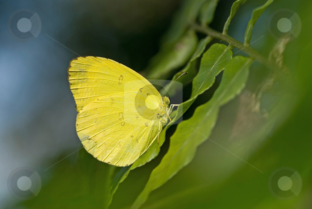 Yellow butterfly rest on fern leaf stock photo, Yellow butterfly rest on fern leaf by Lawren