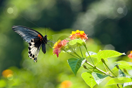 Swallowtail butterfly stock photo, Swallowtail butterfly (Papilio memnon heronus Fruhstorfer, Papilionidae), Asia by Lawren