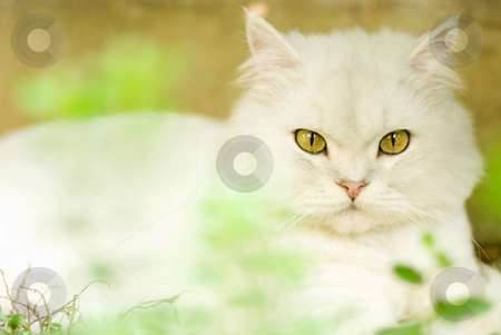 Chinchilla cat stock photo, The cat stare at something, chinchilla cat by Lawren