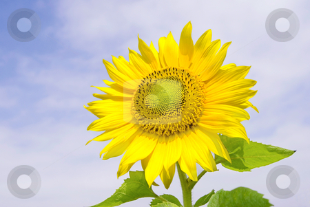 Sunflower blossom stock photo, Sunflower under cloundy blue sky by Lawren