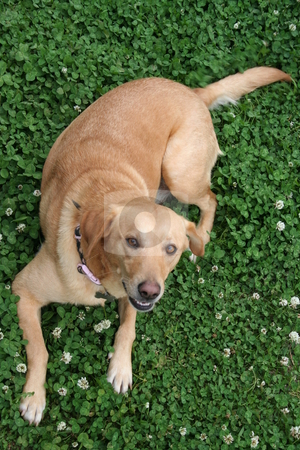 Labrador in the Clover stock photo, Yellow Labrador lying in the clover by Debbie Hayes