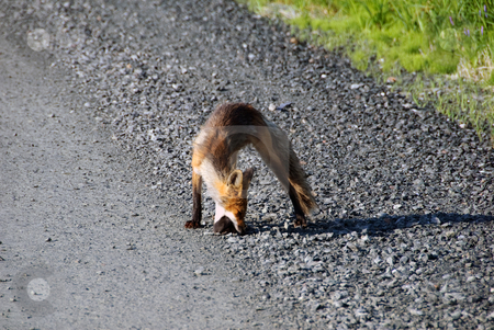 Red fox stock photo, Picture of a Red Fox who did catch his lunch by Alain Turgeon