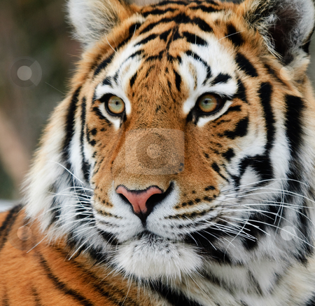 Tiger stock photo, Close-up picture of a Siberian Tiger on a cold Winter day by Alain Turgeon