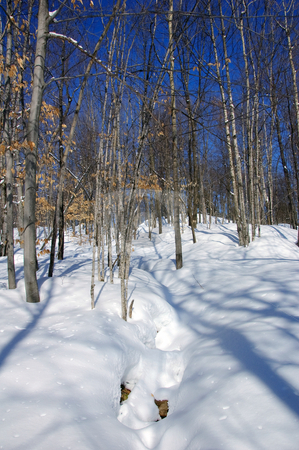 Winter Forest stock photo, View of a northern forest in Winter by Alain Turgeon