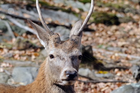 Wapiti stock photo, Close-up portrait a a Wapiti in the Autumn season by Alain Turgeon