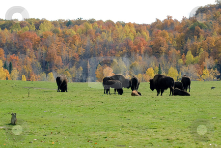 Bison herd stock photo, Picture of a small bison herd in the Fall season by Alain Turgeon