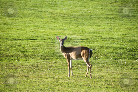 Deer green grass stock photo, A deer standing against a backdrop of green grass. by Kristen Wood