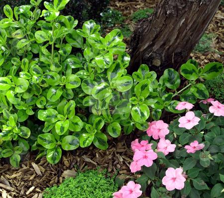 Waxleaf bush and pink pansies stock photo, Green waxleaf bush and pink pansies in bloom by Jill Reid