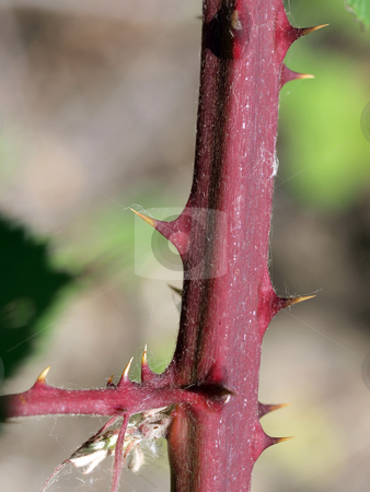 Closeup of sharp thorns on berry bush stock photo, Thorns on berry bush closeup of sharp danger by Jeff Cleveland