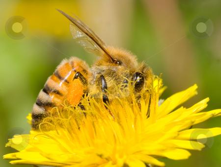 Working bee stock photo, The bee is working on dandelion flower by Lawren