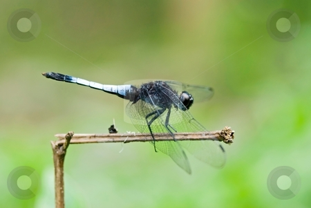 Dragonfly rest on branch stock photo, Dragonfly (Orthetrum triangular subsp)  rest on branch by Lawren