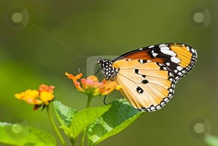 Milkweed butterfly (Anosia chrysippus, Danaidae) feeding on flow stock photo, Milkweed butterfly (Anosia chrysippus, Danaidae) feeding on flower by Lawren