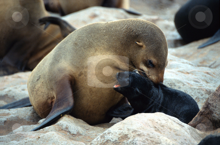 Seals, Cape Cross, Namibia stock photo, Motherly Love, Cape Cross, Namibia by Sigrid Wittmann