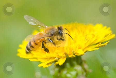 Bee and dandelion flower stock photo, Bee and dandeliion flower by Lawren
