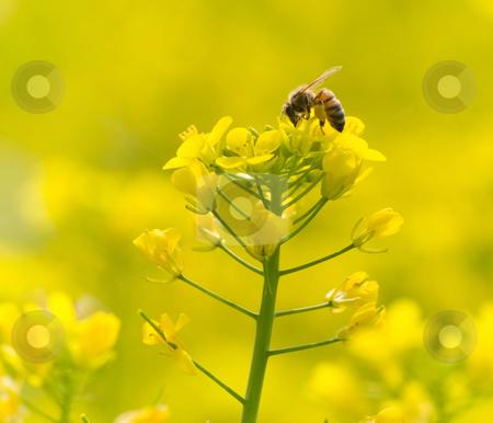 Feeding bee on yellow flower stock photo, The bee feeding on yellow flowers by Lawren