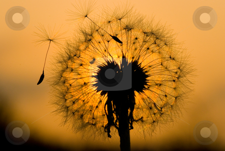 Dandelion in peaceful evening stock photo, Dandelion seed start to fly under sunset by Lawren