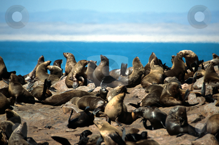 Seals, Cape Cross, Namibia stock photo, Seals, Cape Cross, Namibia by Sigrid Wittmann