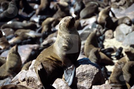 Seal having a sun bath, Cape Cross, Namibia stock photo, Seal having a sun bath, Cape Cross, Namibia by Sigrid Wittmann