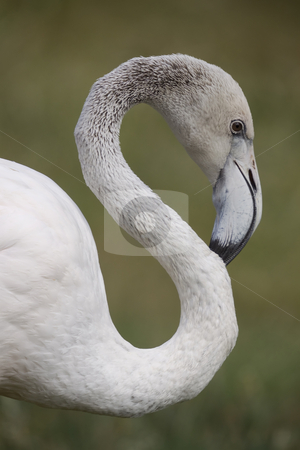 Flamingo Portrait stock photo, Portrait of a flamingo by Inge Schepers