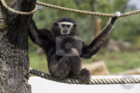 Gibbon stock photo, Gibbon sitting on a rope and looking at the camera by Inge Schepers