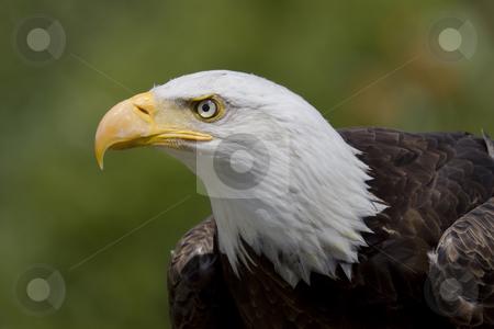 Bald Eagle Portrait stock photo, Portrait of an adult Bald Eagle by Inge Schepers