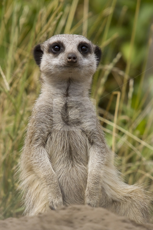 Meerkat stock photo, The wellknown pose of a meerkat, standing on its hind legs by Inge Schepers