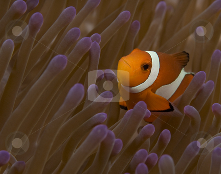 Quizzical False Clown Fish stock photo, A False Clown Fish (Amphiprion ocellaris) looks quizzically at the photographer from the protection of it's home anemone (Heteractis magnifica) by A Cotton Photo