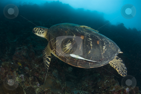 Swimming Green Sea Turtle stock photo, Swimming Green Sea Turtle (Chelonia mydas) with a remora underwater in the South China Sea by A Cotton Photo