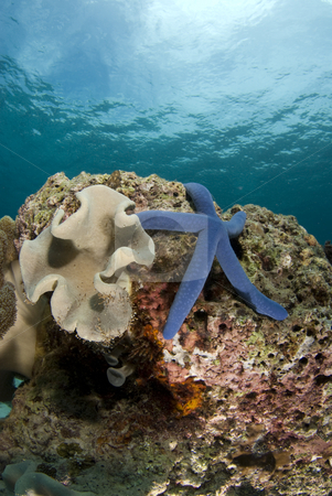 Sea Star and Coralhead Portrait stock photo, Blue Sea Star (Linckia laevigata) on a coral head underwater with the partly cloudy sky visible above the water's surface. by A Cotton Photo
