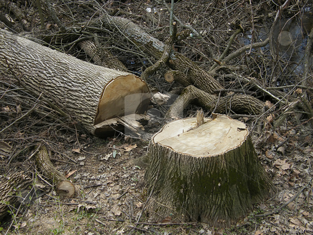 Timber stock photo, Timber, a freshly cut, large tree trunk beside its stump.  This might be one of the ash trees that had an ash borer problem, but could just be everyday deforestation, by Dazz Lee Photography