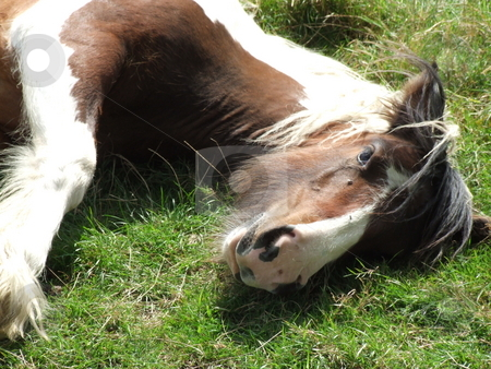Tied Horse stock photo, Tied Horse Lying down on the grass by Stephen Lambourne