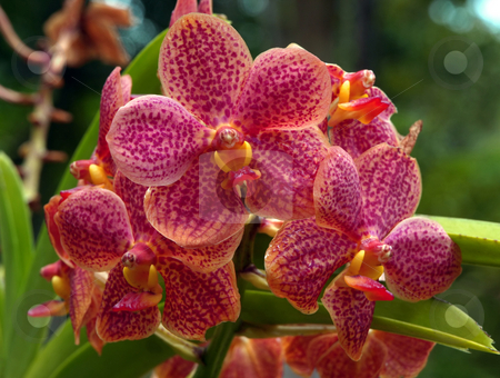 Ornamental variegated orchids stock photo, A group of pink ornamental variegated orchids by Jill Reid