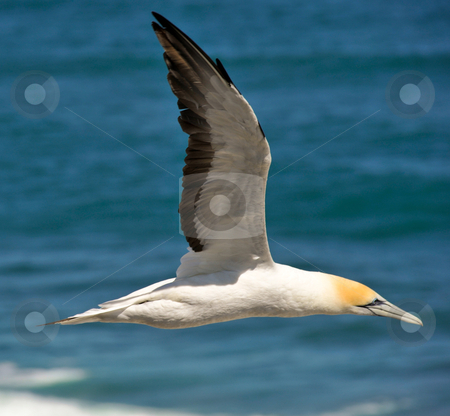 Freedom stock photo, Taken at the Muriwai Gannet colony near Auckland New Zealand. These big seabirds are incredibly aerodynamic - this one is in full speed flight - but with the strong off-sea air they can hang in the updrafts from the cliffs for as long as they want. by Robin Ducker
