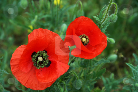 Wildflower stock photo, Two beautiful flowers grow in the field. by Aleksandr GAvrilov