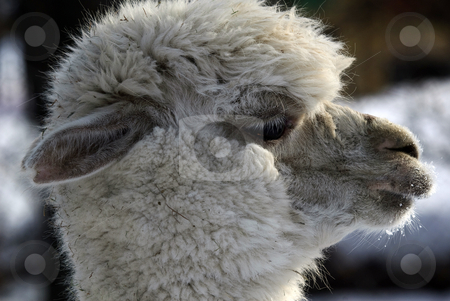 White Lama stock photo, Close-up profile portrait of a white Lama in Winter by Alain Turgeon