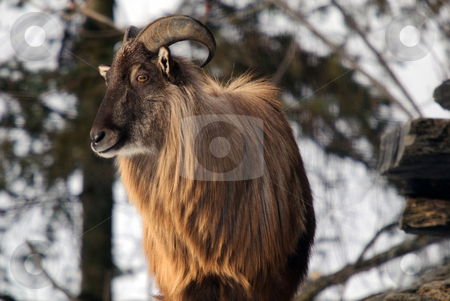 Himalayan Tahr stock photo, An Himalayan Tahr in a Winter mountain environment by Alain Turgeon