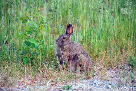 Showshoe Hare stock photo, Picture of a Showshoe Hare with it's brown fur in summer by Alain Turgeon