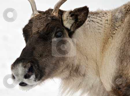 Reindeer stock photo, Close-up portrait of a reindeer on a cold Winter day by Alain Turgeon